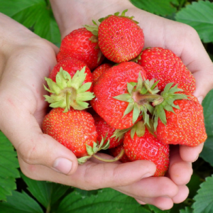 hand full of strawberries